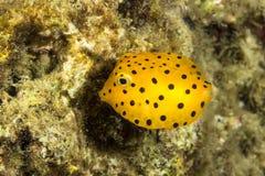 Gul Boxfish, Ostracion cubicus Arkivfoton