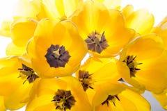 Gul bukett för blommatulpan som isoleras på vit Arkivbild