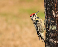 Gul bukSapsucker-fågel Arkivfoton
