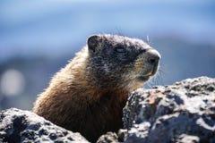 Gul buktad murmeldjur på slingan till Mt Washburn, Yellowstone nationalpark arkivbilder