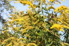 Gul buske Fotografering för Bildbyråer