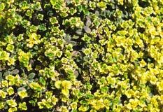Gul buske av citrontimjan Thymusk?rtelcitriodorus Perenn ört med en karakteristisk citrondoft av sidor Slapp selektiv fokus fotografering för bildbyråer