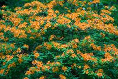 Gul buske för flammaazaleablommor arkivfoton