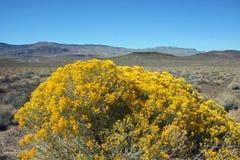 Gul buske i öknen arkivfoton
