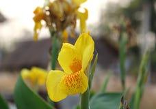 Gul Canna blomma royaltyfria foton