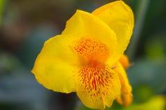 Gul Canna blomma fotografering för bildbyråer