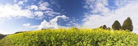 Gul canola eller senap på ett fält Arkivfoto