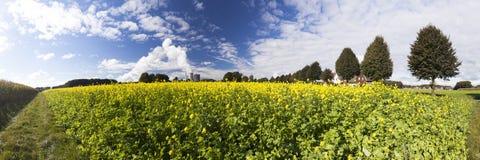 Gul canola eller senap på ett fält Arkivfoton