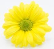 Gul chrysanthemum Royaltyfria Bilder