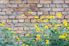 Gul chrysanthemum arkivfoton