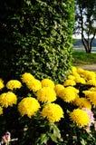 Gul chrysanthemum Fotografering för Bildbyråer