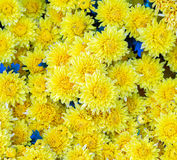 Gul chrysanthemum arkivbild