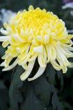 Gul chrysanthemum royaltyfri foto