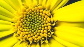 Gul chrysanthemum Arkivbilder