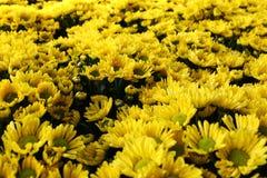 Gul chrysanthemum royaltyfria foton