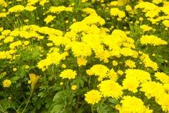 Gul chrysanthemum arkivfoto