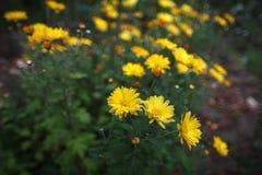 Gul chrysanthemum royaltyfri bild