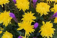 Gul chrysanthemum royaltyfri fotografi