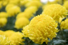Gul chrysanthemum blommande asterblomma i trädgård florafie royaltyfri foto