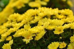 Gul chrysanthemum hösten colors vibrerande arkivfoto