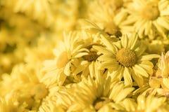 Gul chrysanthemumblomma Fotografering för Bildbyråer