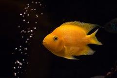 Gul cichlidfisk i akvarium Royaltyfria Bilder