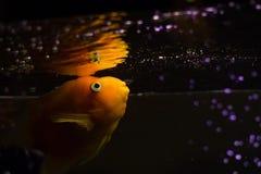 Gul cichlidfisk i akvarium Royaltyfri Fotografi