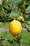 Gul citron som hänger på ett träd Royaltyfri Foto