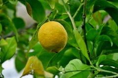 Gul citron som h?nger p? ett tr?d i mitt av gr?na sidor royaltyfri foto