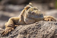Gul closeup för Galapagos landleguan arkivbild