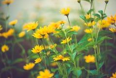 Gul Coreopsisspecifikations-blomma Royaltyfri Fotografi