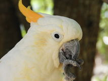Gul Creasted kakadua Royaltyfria Bilder