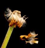Gul dahlia vissnad blomma fotografering för bildbyråer