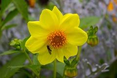 Gul dahliablomma på bakgrund av olika typer av blommor Arkivfoto