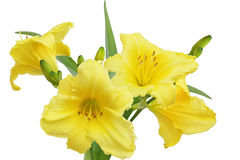 Gul Dayliliesblomma Royaltyfri Foto