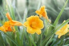 Gul daylily i droppar efter regn, ljus effekt arkivbild