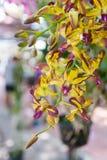 Gul DendrobiumMemoria Loo Sing Chew orkidé Arkivbilder