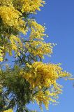Gul doftande mimosablomma Royaltyfri Bild
