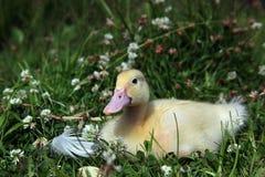 Gul duckling Arkivbild