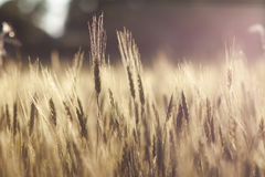 Gul effekt för tappning för closeup för vetefält Arkivfoto