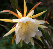 Gul epiphyllumblommaväxt arkivbilder