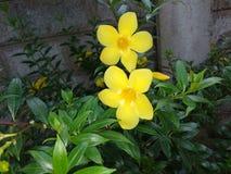 Gul färgKaneru blomma i trädgård arkivfoto