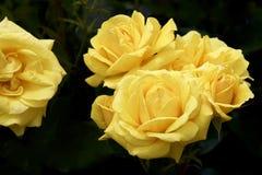 Gul färgros som blommas i trädgård Fotografering för Bildbyråer