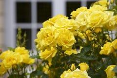 Gul färgros som blommas i trädgård Arkivbild