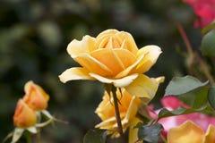 Gul färgros som blommas i trädgård Arkivfoton