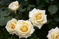 Gul färgros som blommas i trädgård Arkivbilder