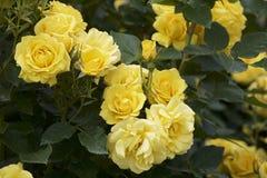 Gul färgros som blommas i trädgård Royaltyfri Bild