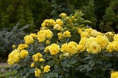 Gul färgros som blommas i trädgård Royaltyfria Foton