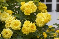 Gul färgros som blommas i trädgård Royaltyfria Bilder