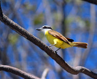 Gul fågel Arkivbilder